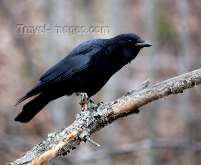 canada507: Canada - Ontario - Common raven on limb - Corvus corax - photo by R.Grove - (c) Travel-Images.com - Stock Photography agency - Image Bank