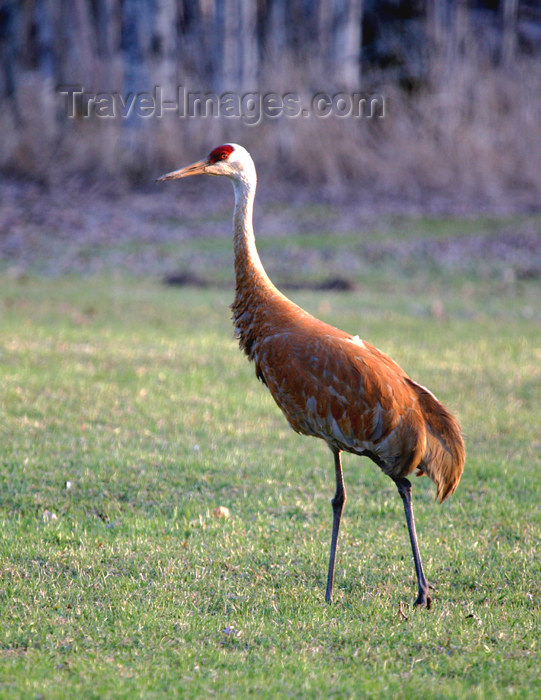 canada508: Canada - Ontario - Sandhill crane - Grus canadensis - photo by R.Grove - (c) Travel-Images.com - Stock Photography agency - Image Bank