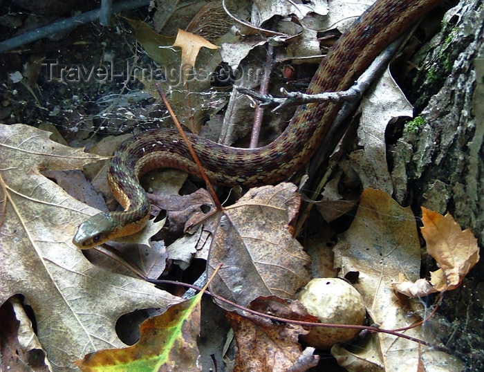 canada509: Canada - Ontario - garter snake in leaves - photo by R.Grove - (c) Travel-Images.com - Stock Photography agency - Image Bank