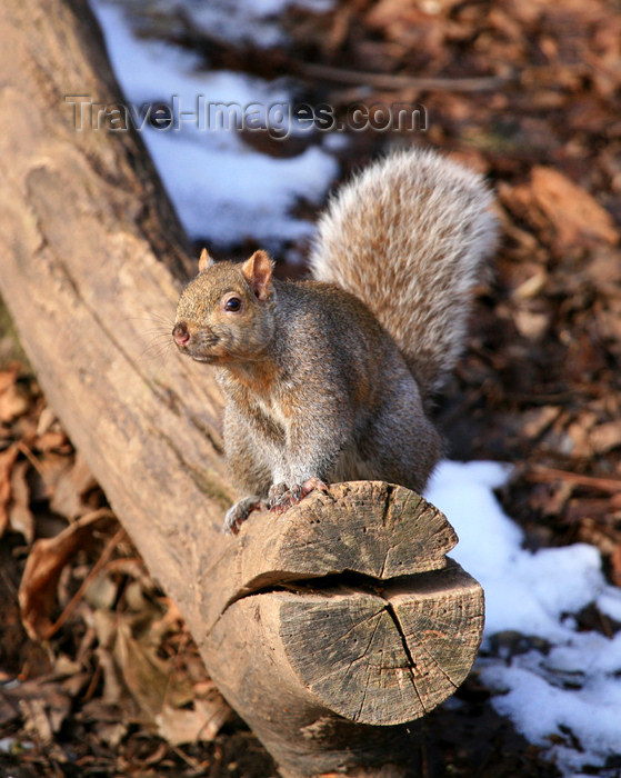 canada510: Canada - Ontario - North American red squirrel - Tamiasciurus hudsonicus - photo by R.Grove - (c) Travel-Images.com - Stock Photography agency - Image Bank