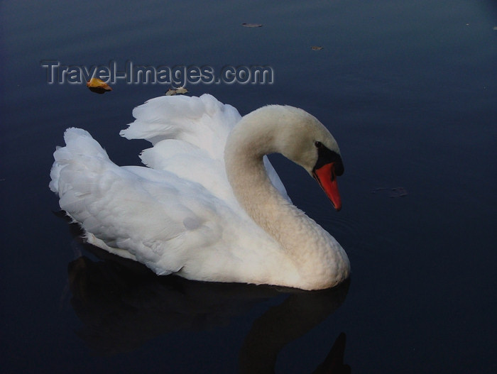 canada511: Canada - Ontario - Mute Swan - Cygnus olor - photo by R.Grove - (c) Travel-Images.com - Stock Photography agency - Image Bank