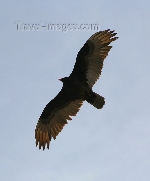 canada512: Canada - Ontario - Turkey Vulture in flight - Cathartes aura - photo by R.Grove - (c) Travel-Images.com - Stock Photography agency - Image Bank