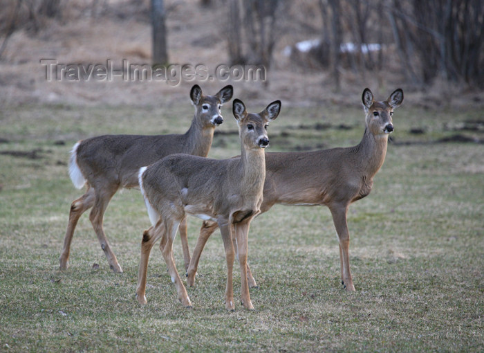 canada513: Canada - Ontario - White-tailed deer - Odocoileus virginianus - photo by R.Grove - (c) Travel-Images.com - Stock Photography agency - Image Bank
