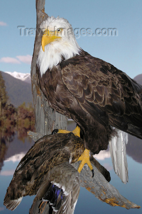 canada533: Northwest Territories, Canada: bald eagle with prey on perch - taxidermy - photo by Air West Coast - (c) Travel-Images.com - Stock Photography agency - Image Bank