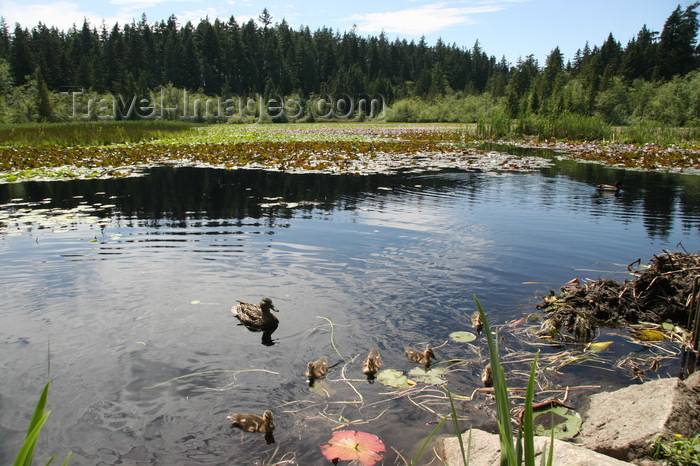 canada550: Vancouver, BC, Canada: Beaver Lake - Stanley Park - photo by J.Cave - (c) Travel-Images.com - Stock Photography agency - Image Bank