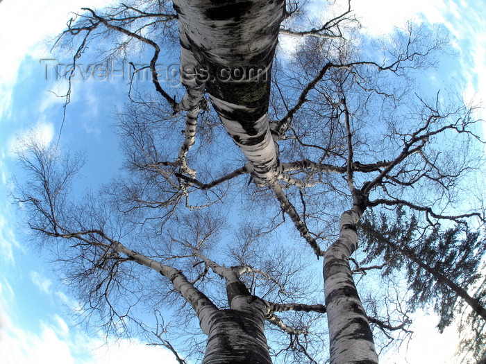 canada632: Quebec City, Quebec: birch trees and sky - Betula - Bouleau - photo by B.Cain - (c) Travel-Images.com - Stock Photography agency - Image Bank