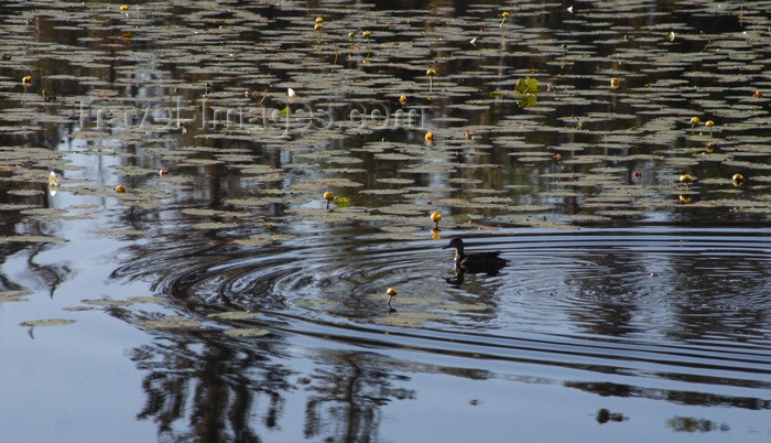 canada64: Canada / Kanada - Saskatchewan: duck and reflection in the water - photo by M.Duffy - (c) Travel-Images.com - Stock Photography agency - Image Bank