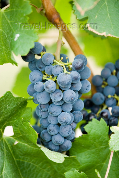canada644: Okanagan Valley, BC, Canada: closeup of Merlot grapes on the vine - vineyard - red winegrapes - photo by D.Smith - (c) Travel-Images.com - Stock Photography agency - Image Bank