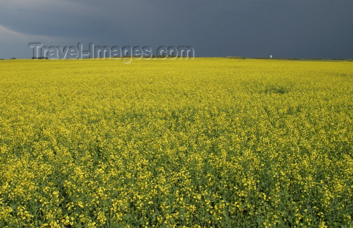 canada67: Canada / Kanada - Saskatchewan: stormy sky - canola field - agriculture - photo by M.Duffy - (c) Travel-Images.com - Stock Photography agency - Image Bank