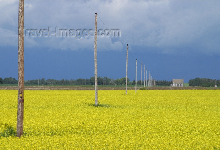 canada72: Canada / Kanada - Saskatchewan: power lines - canola fields - yellow flowers - photo by M.Duffy - (c) Travel-Images.com - Stock Photography agency - Image Bank