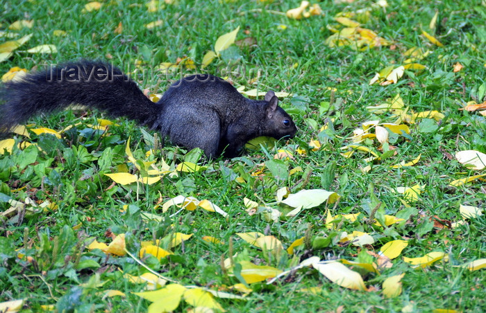 canada739: Toronto, Ontario, Canada: black squirrel - melanistic subgroup of the Sciurus carolinensis - Harbour Square Park - photo by M.Torres - (c) Travel-Images.com - Stock Photography agency - Image Bank