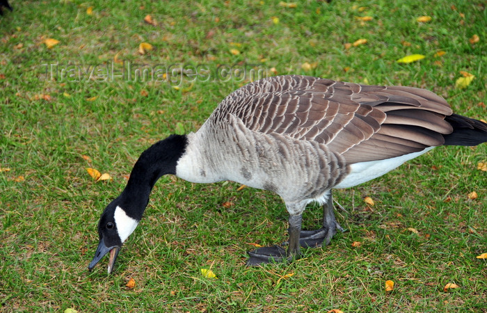 canada741: Toronto, Ontario, Canada: Canada Goose eating grass - Branta canadensis - Harbour Square Park - photo by M.Torres - (c) Travel-Images.com - Stock Photography agency - Image Bank
