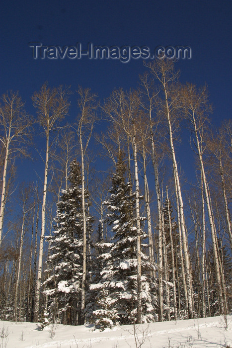 canada93: Canada / Kanada - Saskatchewan: winter scene - snow covered trees - photo by M.Duffy - (c) Travel-Images.com - Stock Photography agency - Image Bank
