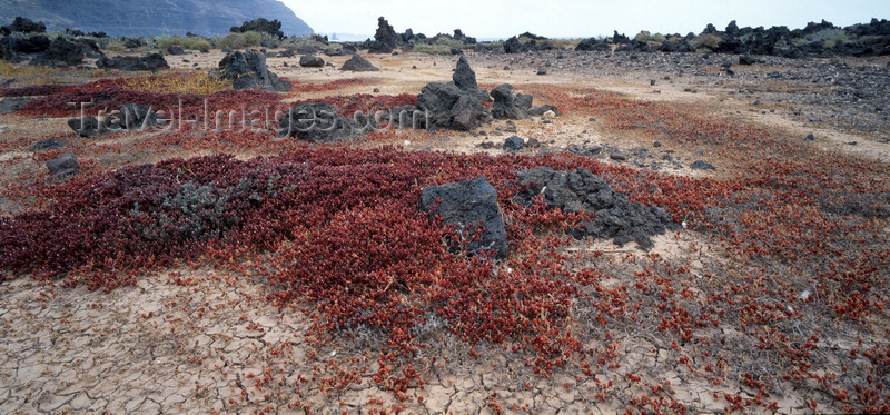 canary70: Lanzarote, Canary Islands: Slender-Leaved Ice Plants in an old lava field - Mesembryanthemum Nodiflorum - photo by W.Allgöwer - (c) Travel-Images.com - Stock Photography agency - Image Bank