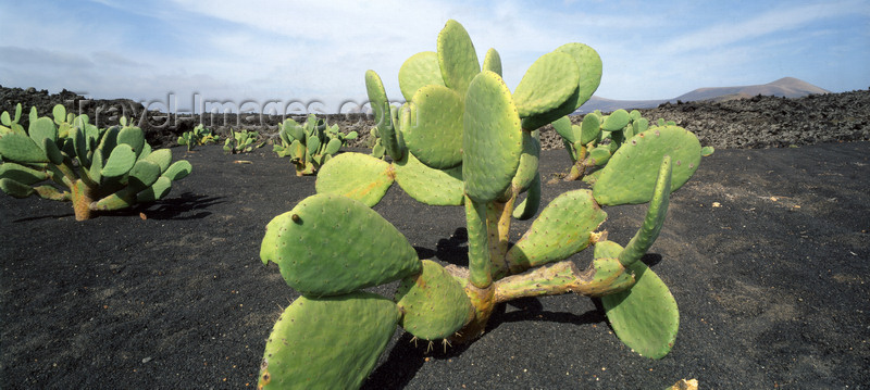 canary72: Guatiza, Lanzarote, Canary Islands: Cactus Pear - in a lava field - prickly pear - Opuntia ficus-indica - photo by W.Allgöwer - (c) Travel-Images.com - Stock Photography agency - Image Bank