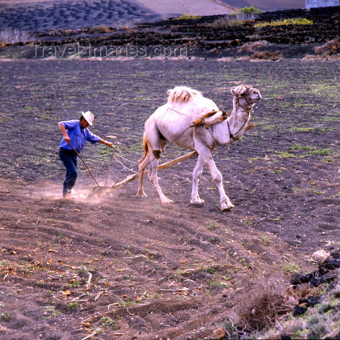 canary76: Lanzarote, Canaries: camel ploughing - agriculture in volcanic soil - photo by A.Bartel - (c) Travel-Images.com - Stock Photography agency - Image Bank