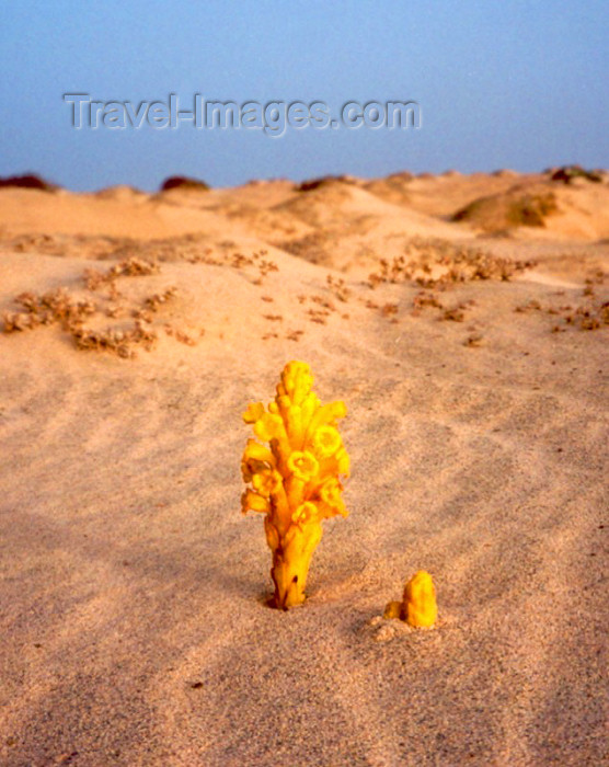 capeverde27: Cape Verde / Cabo Verde - Sal island: flower blossoming in the desert - desabrochando no deserto - photo by M.Torres - (c) Travel-Images.com - Stock Photography agency - Image Bank