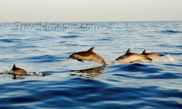 capeverde59: Fogo island - Cape Verde / Cabo Verde: dolphins in the Cape Verde waters - photo by E.Petitalot - (c) Travel-Images.com - Stock Photography agency - Image Bank