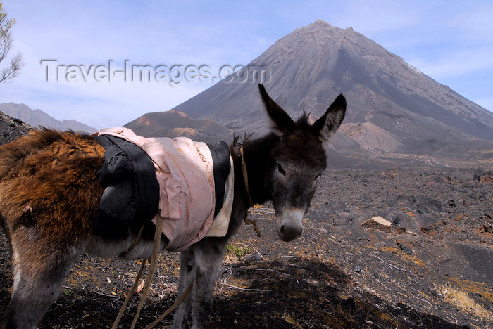 capeverde72: Fogo natural park, Fogo island - Cape Verde / Cabo Verde: donkey in front of Pico do Fogo volcano - photo by E.Petitalot - (c) Travel-Images.com - Stock Photography agency - Image Bank