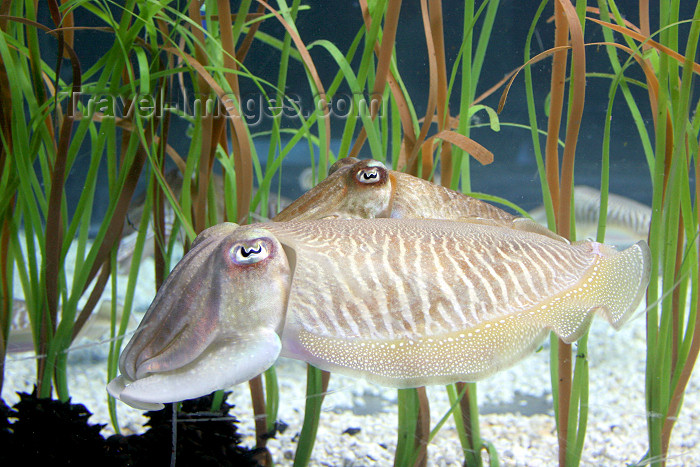catalon115: Catalonia - Barcelona: the Aquarium - cuttlefish - marine cephalopods - Tintenfische, Sepia, Zeekat, inktvis, Sipa, Choco - photo by A.Dnieprowsky - (c) Travel-Images.com - Stock Photography agency - Image Bank