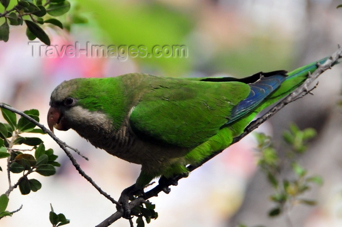 catalon181: Barcelona, Catalonia: Monk parakeet on a tree (Myiopsitta monachus) - Gràcia district - photo by M.Torres - (c) Travel-Images.com - Stock Photography agency - Image Bank