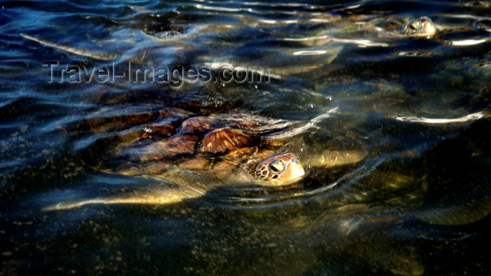 cayman26: Grand Cayman: turtle in the water - photo by D.Forman - (c) Travel-Images.com - Stock Photography agency - Image Bank