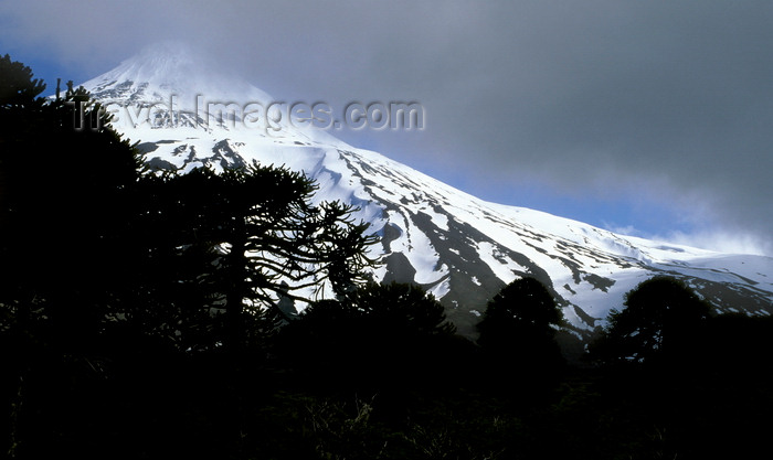 chile108: Villarrica Volcano National Park, Araucanía Region, Chile: Araucaria trees and the slopes of Lanin Volcano - Araucaria Araucana - Lake District of Chile - photo by C.Lovell - (c) Travel-Images.com - Stock Photography agency - Image Bank