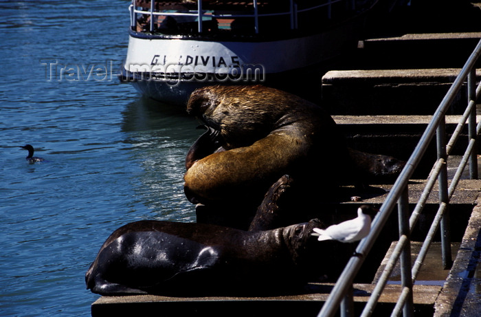 chile13: Valdivia, Los Ríos, Chile: southern sea lions on dock stairs - Otaria flavescens – fauna - photo by C.Lovell - (c) Travel-Images.com - Stock Photography agency - Image Bank