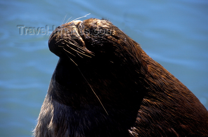 chile14: Valdivia, Los Ríos, Chile: male southern sea lion with long whiskers - Otaria flavescens - photo by C.Lovell - (c) Travel-Images.com - Stock Photography agency - Image Bank