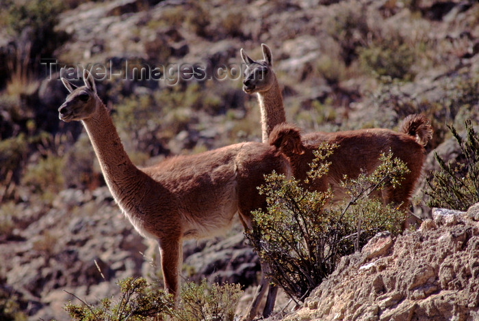 chile149: Atacama desert, Atacama region, Chile: the Guanaco are a wild relative of the llama and are seen here in the high altitude - Lama guanicoe – camelid - photo by C.Lovell - (c) Travel-Images.com - Stock Photography agency - Image Bank
