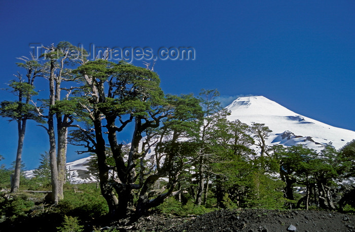 chile151: Villarrica Volcano National Park, Araucanía Region, Chile: Lenga Beeches face the harsh conditions on the slopes of the Villarrica volcano - Lake District of Chile - Nothofagus pumilio - photo by C.Lovell - (c) Travel-Images.com - Stock Photography agency - Image Bank