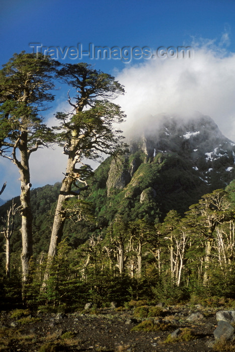 chile154: Villarrica Volcano National Park, Araucanía Region, Chile: Lenga Beech forest flourishes on the slopes of the Villarrica volcano - Lake District of Chile - Nothofagus pumilio - photo by C.Lovell - (c) Travel-Images.com - Stock Photography agency - Image Bank