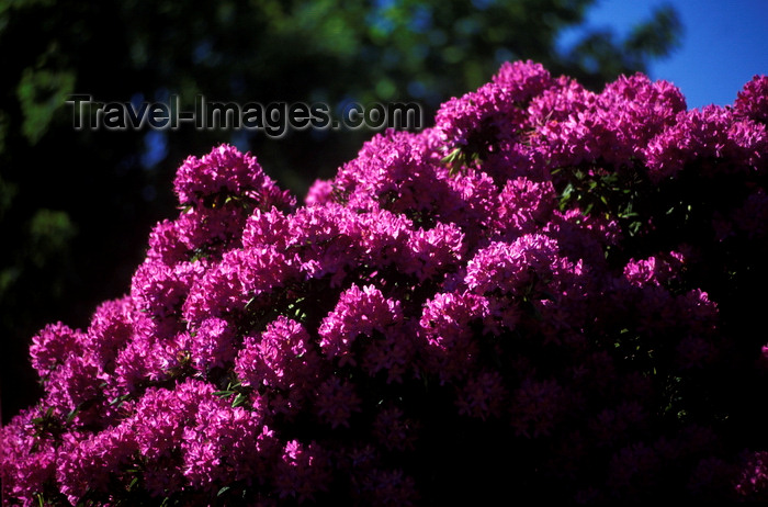 chile16: Isla Teja, Valdivia, Los Ríos, Chile: rhododendrons in bloom - flowers - photo by C.Lovell - (c) Travel-Images.com - Stock Photography agency - Image Bank