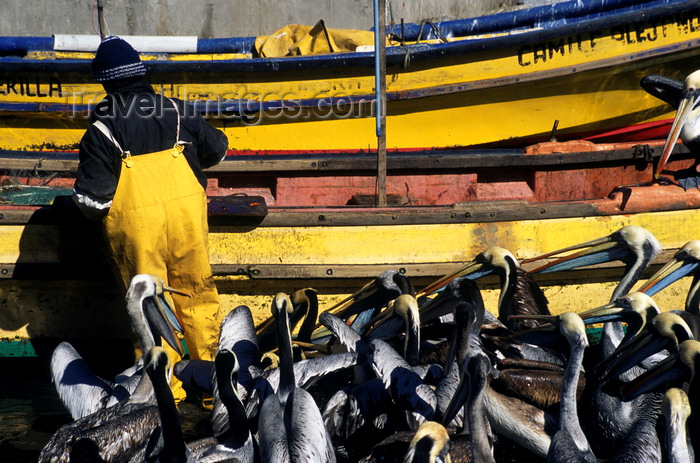 chile183: Concon village, Valparaíso region, Chile: fisherman feeds pelicans – yellow boats- photo by C.Lovell - (c) Travel-Images.com - Stock Photography agency - Image Bank