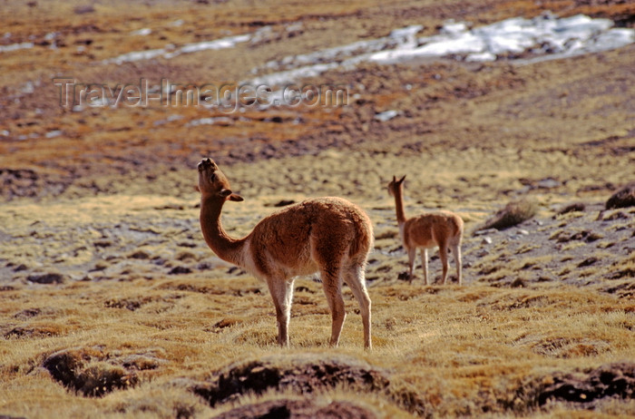 chile229: Lauca National Park, Arica and Parinacota region, Chile: vicuna drinking water on the 'bofedales' - swampy grasslands – Vicugna vicugna - photo by C.Lovell - (c) Travel-Images.com - Stock Photography agency - Image Bank