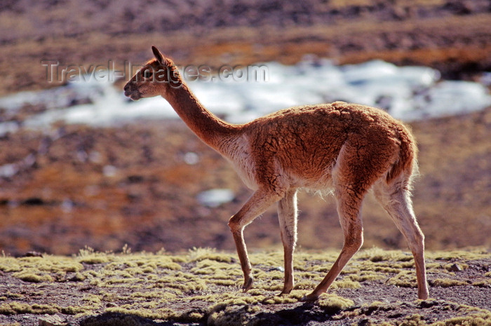 chile230: Lauca National Park, Arica and Parinacota region, Chile: the endangered Vicuna is making a remarkable come back on the high altitude grasslands – Vicugna vicugna - photo by C.Lovell - (c) Travel-Images.com - Stock Photography agency - Image Bank