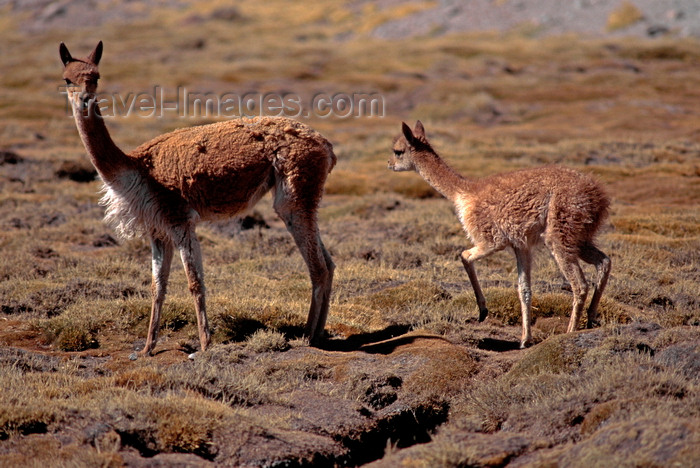 chile231: Lauca National Park, Arica and Parinacota region, Chile: mother and baby vicuna prosper on the high altitude grasslands, above 11,000 feet - World Biosphere Reserve - Norte Grande - photo by C.Lovell - (c) Travel-Images.com - Stock Photography agency - Image Bank