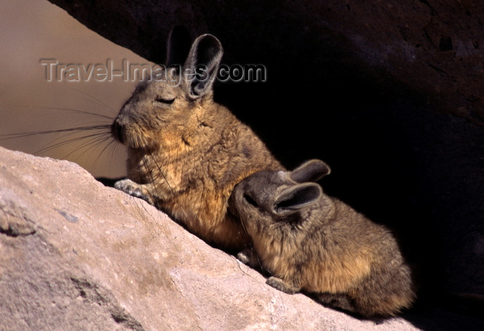 chile233: Lauca National Park, Arica and Parinacota region, Chile: mother Mountain Viscacha nurses her baby - high altitude altiplano - Lagidium viscacia – rodent of the chinchilla family - photo by C.Lovell - (c) Travel-Images.com - Stock Photography agency - Image Bank