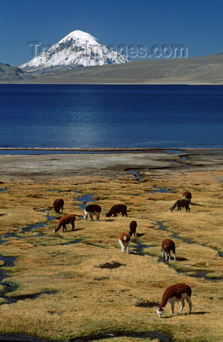 chile236: Lauca National Park, Arica and Parinacota region, Chile: alpacas graze below Mt. Sajama (21,484 ft) on the shores of Lago Chungará – Norte Grande - photo by C.Lovell - (c) Travel-Images.com - Stock Photography agency - Image Bank