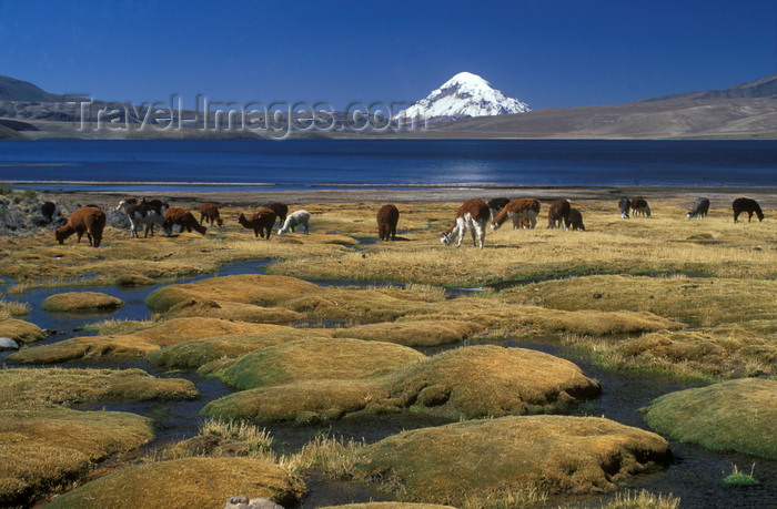 chile237: Lauca National Park, Arica and Parinacota region, Chile: alpacas graze at 4.500 m on the swampy shores of Lago Chungará, below Mt. Sajama - Norte Grande - photo by C.Lovell - (c) Travel-Images.com - Stock Photography agency - Image Bank