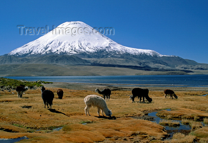 chile238: Lauca National Park, Arica and Parinacota region, Chile: alpacas graze on the verdant shores of Lago Chungará, below Mt. Parinacota (20,800 ft) - Norte Grande - photo by C.Lovell - (c) Travel-Images.com - Stock Photography agency - Image Bank