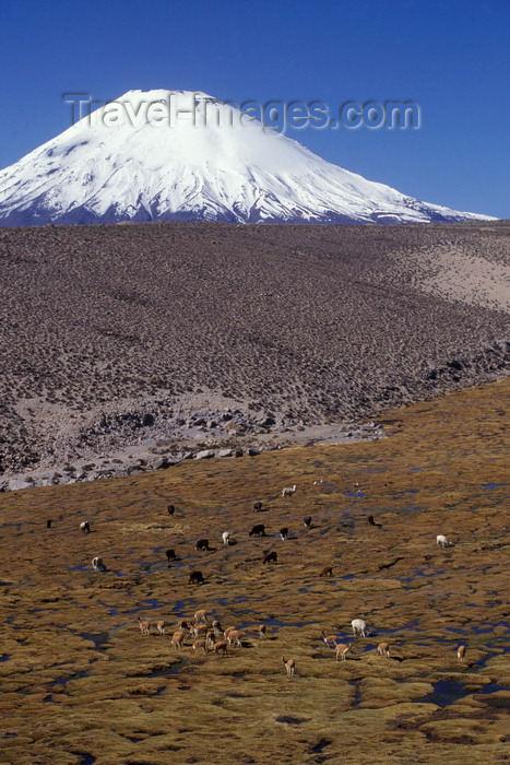 chile239: Lauca National Park, Arica and Parinacota region, Chile: mixed herd of wild vicuna and domesticated alpaca graze below Mount Parinacota - Norte Grande - photo by C.Lovell - (c) Travel-Images.com - Stock Photography agency - Image Bank