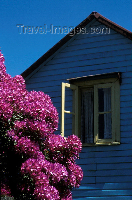 chile24: Santa Virginia, Valdivia, Los Ríos, Chile: purple rhododendron and blue house – village in the Rio Calle Calle valley - photo by C.Lovell - (c) Travel-Images.com - Stock Photography agency - Image Bank