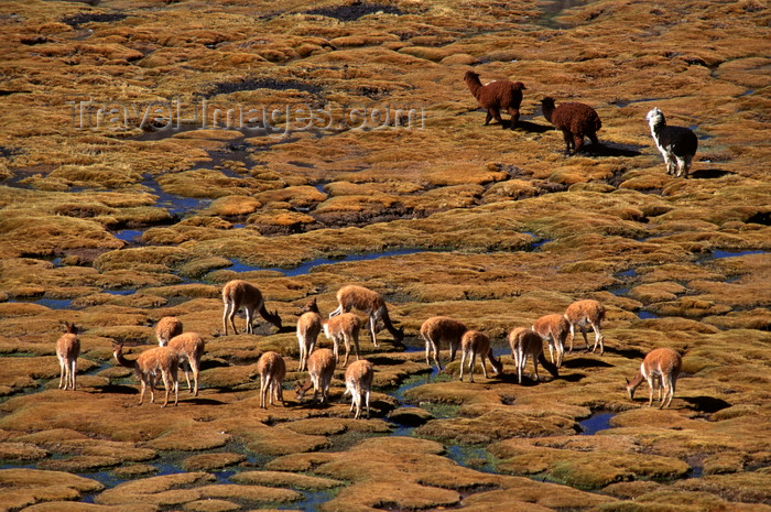 chile240: Lauca National Park, Arica and Parinacota region, Chile: a herd of wild vicuna and alpaca graze on the 'bofedales' near the border - swampy grasslands - Norte Grande - photo by C.Lovell - (c) Travel-Images.com - Stock Photography agency - Image Bank