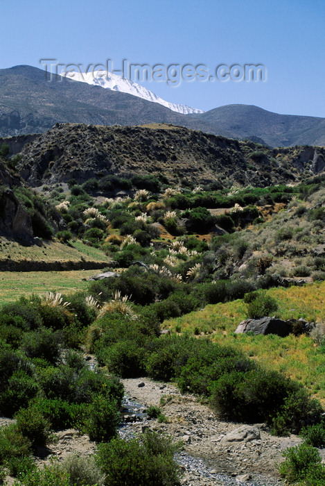 chile244: Putre, Arica and Parinacota region, Chile: backlit pampas grass flourishes in a gorge below the village - photo by C.Lovell - (c) Travel-Images.com - Stock Photography agency - Image Bank