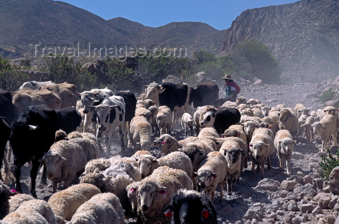 chile246: Putre, Arica and Parinacota region, Chile: an Aymara woman herds cattle and sheep along a dirt road near the village - Northern Chile - photo by C.Lovell - (c) Travel-Images.com - Stock Photography agency - Image Bank
