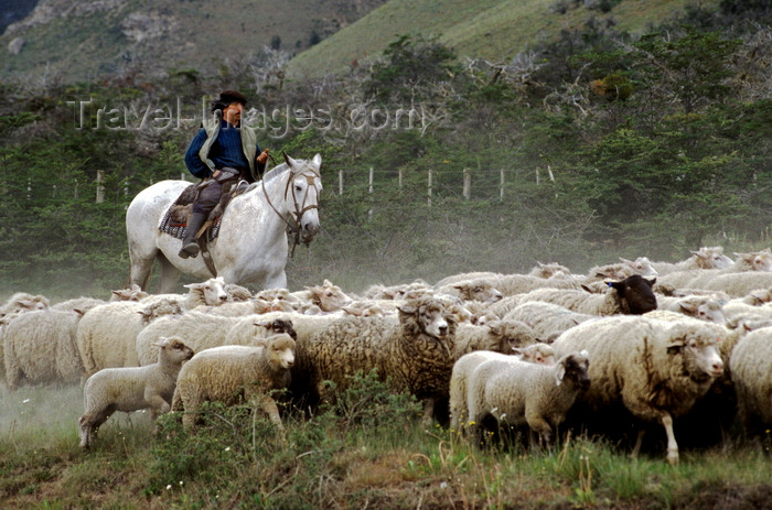 chile262: Aisén region, Chile: a Gaucho or South American cowboy herds sheep on horseback - Patagonia - photo by C.Lovell - (c) Travel-Images.com - Stock Photography agency - Image Bank