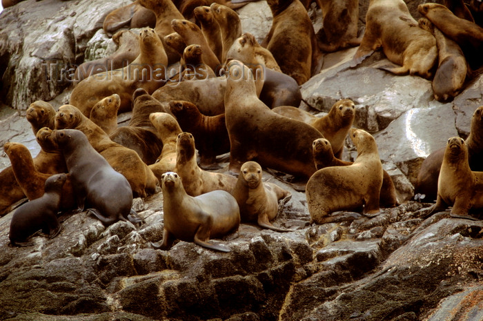 chile263: Aisén region, Chile: colony of southern sea lions on a rock in the temperate rain forest - Otaria flavescens - photo by C.Lovell - (c) Travel-Images.com - Stock Photography agency - Image Bank