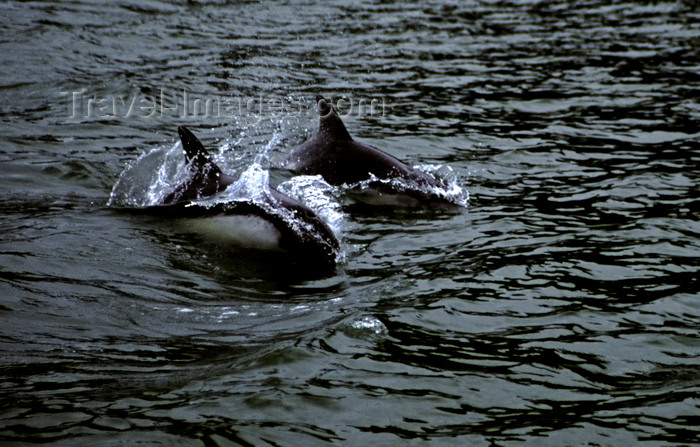 chile264: Aisén region, Chile: Delfin austral - Peale's Dolphins breach along the Pacific Coast west of La Junta – Patagonian fauna - photo by C.Lovell - (c) Travel-Images.com - Stock Photography agency - Image Bank