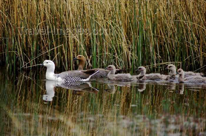 chile265: Torres del Paine National Park, Magallanes region, Chile: upland geese or cauquen with chicks in the wetlands of Torres del Paine NP - Choephaga poliocephala – Patagonian fauna - photo by C.Lovell - (c) Travel-Images.com - Stock Photography agency - Image Bank